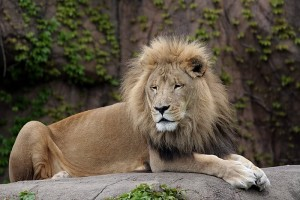 King of the Jungle, Barcelona Zoo